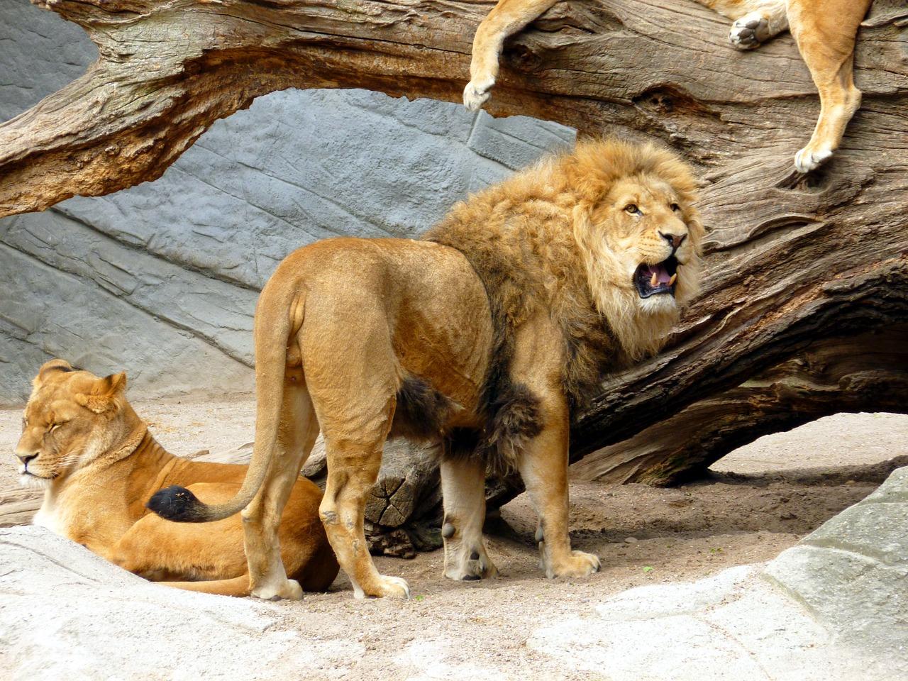 lion-1634651_1280